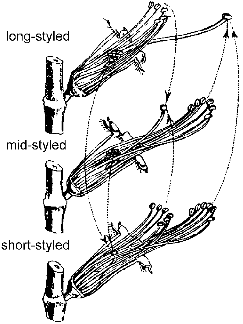 Plant Morphology Flower Structure Diagram Parts Of Rose Diagrams The Three Forms Flowers In Their Natural Position With Petals And Calyx Removed On Near Side Dotted Lines Arrows Show