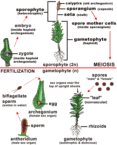 Life Cycle Of A Labeled Moss Diagram: Moss (Bryophytes