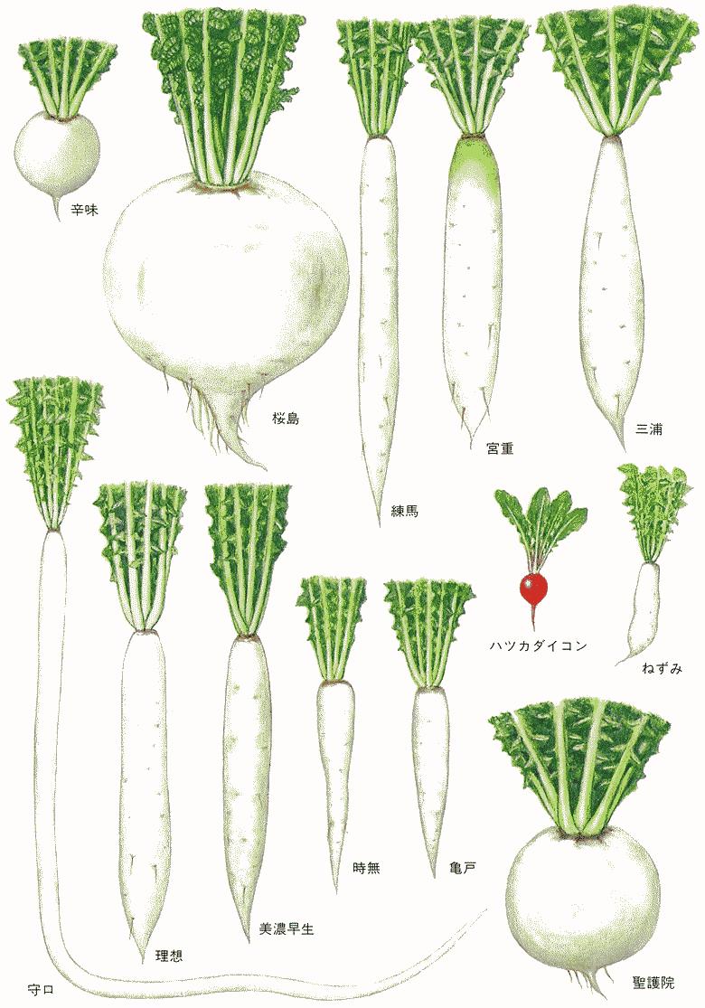 科 の 植物 アブラナ